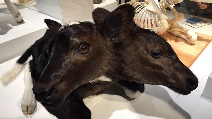 Uit de tentoonstelling: Buitengewone beesten - raar maar waar
